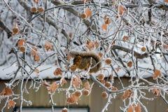 Zimy wiewiórczy obsiadanie w Mroźnym drzewie Fotografia Royalty Free