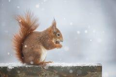 Zimy wiewiórka Obrazy Royalty Free