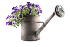 Zinc watering can with petunias Royalty Free Stock Image