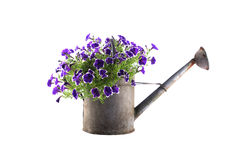 Zinc watering can with purple petunias Royalty Free Stock Images