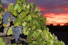 Zinfandel Grapes. Old vine zinfandel grapes on grapevine in vineyard at winery during sunset in Amador county, California Royalty Free Stock Image