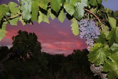 Zinfandel Grapes. Old vine zinfandel grapes on grapevine in vineyard at winery during sunset in Amador county, California stock photo