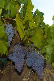 Zinfandel Grapes Royalty Free Stock Photos