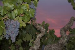 Zinfandel Grapes. Old vine zinfandel grapes on grapevine in vineyard at winery during sunset in Amador county, California Royalty Free Stock Images