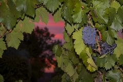 Zinfandel Grapes. Old vine zinfandel grapes on grapevine in vineyard at winery during sunset in Amador county, California royalty free stock photo