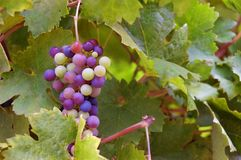 Zinfandel Grapes on the Vine. Zinfandel grapes maturing on the vines in a California vineyard. These are wine grapes Stock Photography
