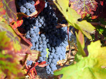 Zinfandel at Harvest. Zinfandel Ready for Harvest Stock Image