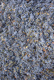 Zinfandel wine grapes. Freshly harvested organically grown California Zinfandel grapes, ready for the crusher Stock Photo