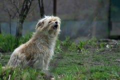 Zingende Hond royalty-vrije stock fotografie