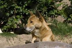 Zingende hond (Canis wolfszweerhallstromi) Stock Afbeelding