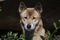 Zingende hond (Canis-wolfszweerhallstromi) Stock Fotografie