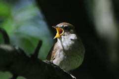 Zingende nachtegaal in donker bos stock foto's