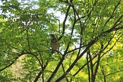 Zingende Nachtegaal op de takken van een boom in het Park in de vroege ochtend onder de zachte groene vegetatie stock afbeeldingen