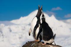 Zingende pinguïnen stock foto