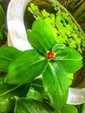 Zingiber cassumunar.Cassumunar ginger Zingiber cassumunar, now thought to be a synonym of Zingiber montanum Link ex A.Dietr., is a stock image
