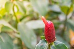 Zingiber ottensii kwiat Zdjęcia Stock