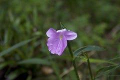 Zingiberaceae de forêt tropicale photo libre de droits
