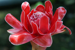 Zingiberaceae: Elatior Etlingera στον κήπο Στοκ Εικόνα