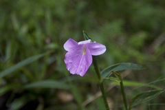 Zingiberaceae från rainforest Royaltyfri Foto