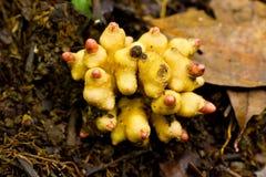 Zingiberaceae, wilde gember, kruid voor slechts mensen Stock Fotografie