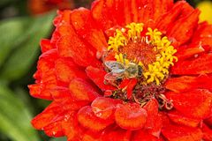 Zinia με τη μέλισσα Στοκ εικόνα με δικαίωμα ελεύθερης χρήσης