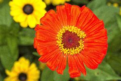 Zinia blomma med den röda blomningen Royaltyfri Bild