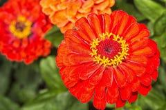 Zinia blomma med den röda blomningen Royaltyfria Bilder