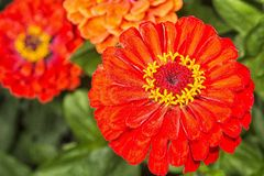 Zinia flower with red blossom Royalty Free Stock Images