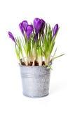 zink пурпура бака цветков крокуса Стоковая Фотография