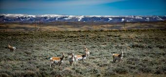Zinken-Horn-Antilope Wyoming USA stockbild