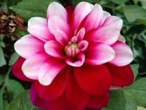 Zinnea cor-de-rosa e vermelho Fotos de Stock