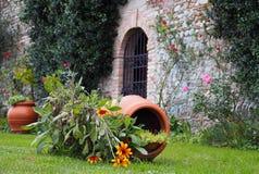 Zinnia étroit de feuille, ou augustofolia de zinnia dans la langue latine, près d'un pot de fleur inversé et devant un mur en pie Photos libres de droits