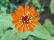 Zinnia апельсина цветка Стоковые Фото