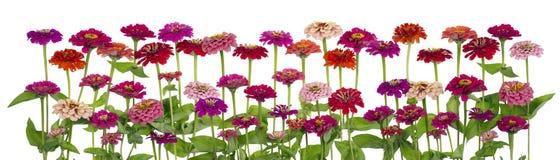 Zinnia цветет большая изолированная граница стоковая фотография