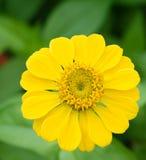 zinnia цветка желтый Стоковое фото RF