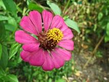 zinnia цветка розовый Стоковое Изображение