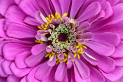 zinnia цветка Стоковые Фото
