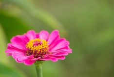 zinnia photographie stock