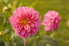 Zinnia Stock Photos