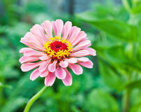 Zinnia. Charged summer warm evening royalty free stock photography