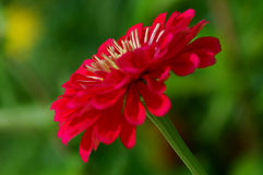 Zinnia stockfotos