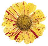 Zinnia Stock Photography