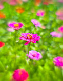 zinnia Royalty Free Stock Image