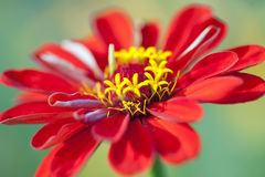Zinnia Royalty Free Stock Photos