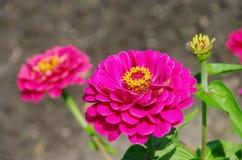 Zinnia. Pink zinnia flower in summer royalty free stock photos
