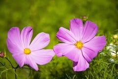 zinnia Photo libre de droits