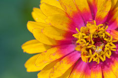 Zinnia foto de stock royalty free