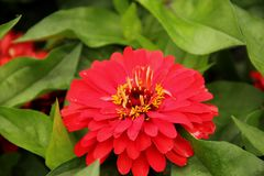 zinnia fotos de stock
