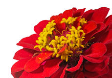 Zinnia Against a White Background Stock Photography