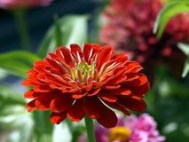 Zinnia alaranjado brilhante Foto de Stock Royalty Free